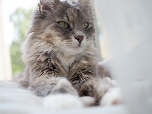Senior Cat Portrait. Beautiful portrait of a cute, fluffy, charming cat close-up that lies on the windowsill